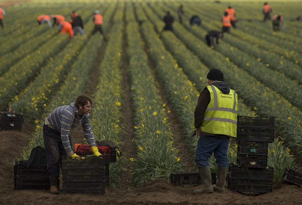 Migrant workers picking daffodils in the fields of Lincolnshire.
