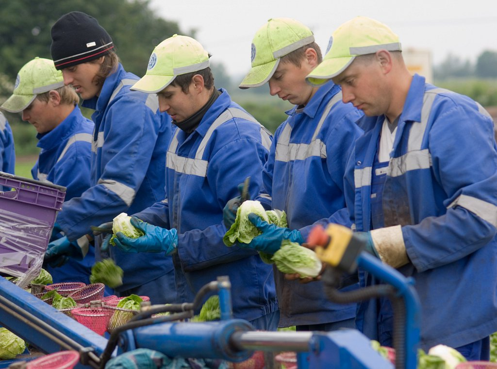 Migrant workers from Eastern Europe harvesting celery in Cambridgeshire.
